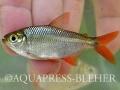 07_Astyanax sp. cf. fasciatus_ Caño Cali in the Darién_Panama
