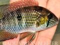 09_Andinocara coreoleopuncattus_Quebrada Puente_Chocó-Darién_Panama