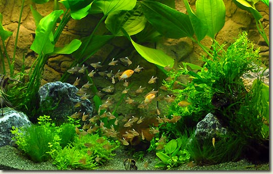 12 zierfische aquarium aquapress bleher for Aquarium zierfische