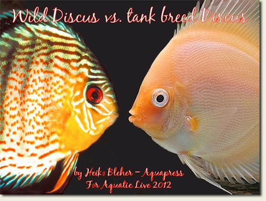 wild-discus-vs-bred_540.jpg