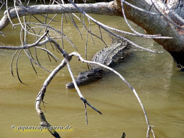 Crocodylus acutus Bild12