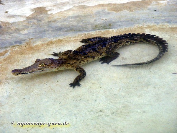 Crocodylus acutus Bild14 giovane