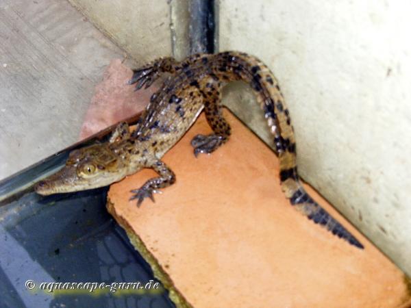 Crocodylus acutus Bild15 bambino