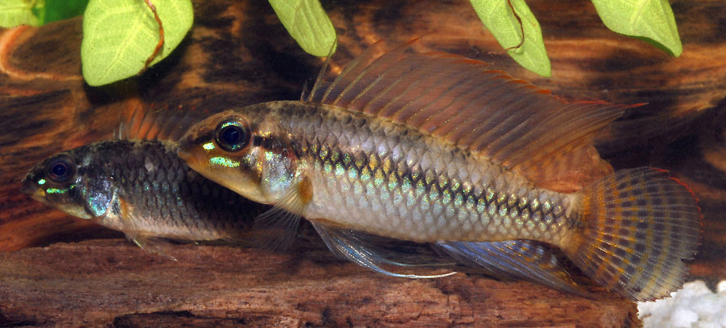 Apistogramma cf. pertensis, pair, Lago Bedoini, Rio Araca, Brazil