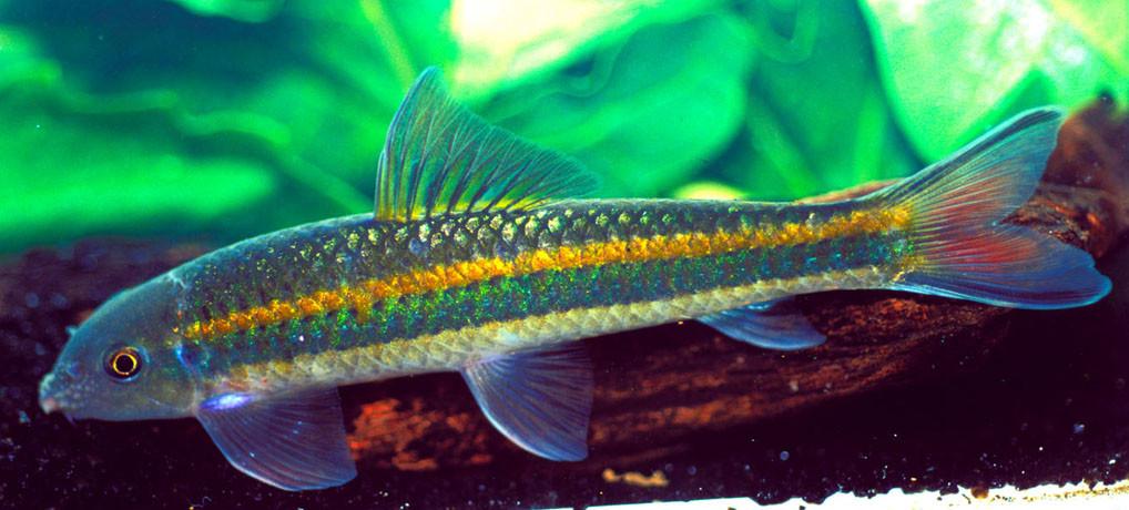 Garra cambogiensis variant, Xe Kong, Lao