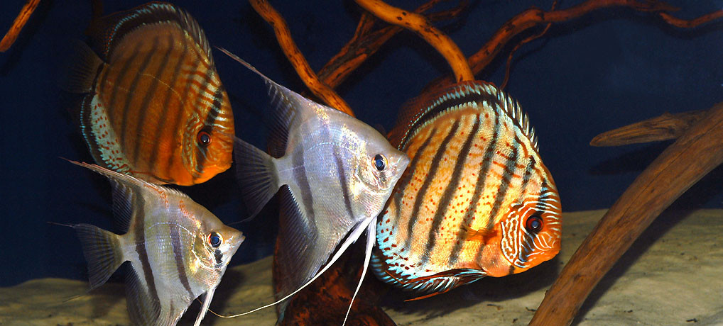 Symphysodon aequifasciatus, Pterophyllum scalare, Mineruá Biotope, Amazonas