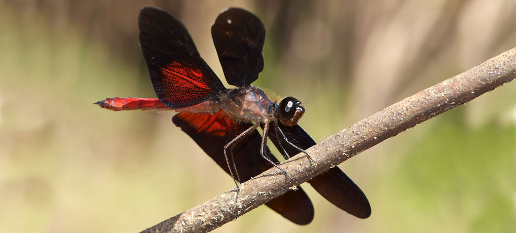 Amazing dragonfly photographed on Rio Yavari, Brazil