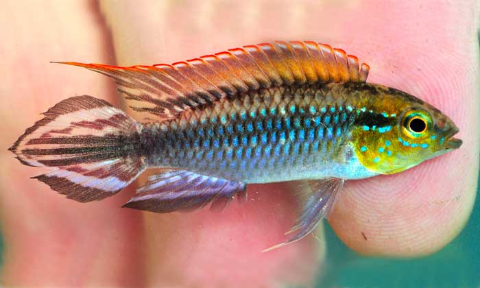 Apistogramma sp. 2 - Purité - Amazonas
