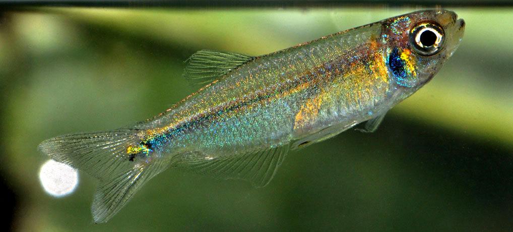 2 cm large Tyttocharax cf. cochui from Caño Pichuna